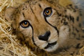 10 Different Types Of Lions with Fact and Pictures Lions and Animal