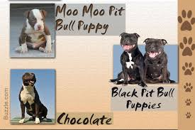 Types Of Pitbulls Chart Stunning Facts About The Different Breeds Of Pit Bulls With