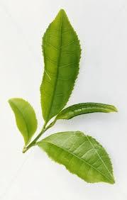 fresh tea leaves. Wonderful Fresh Fresh Tea Leaves Camellia Sinensis Intended Tea Leaves E