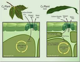 Difference Between C3 C4 And Cam Plants Major Differences