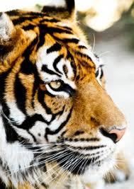 tiger face side. Fine Face On Tiger Face Side A
