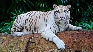 baby white tigers in water.  Tigers White Tiger Facts For Baby Tigers In Water T
