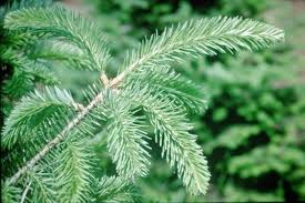 Types Of Trees  Sugar Pines FarmTypes Of Fir Christmas Trees