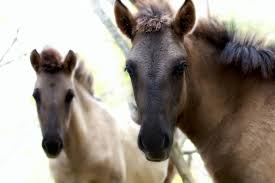 Картинки по запросу jaunieviņas zirgi