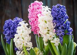 White Paper Flower Bulbs Hyacinths Planting And Caring For Hyacinth And Muscari