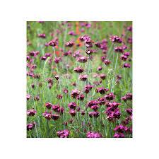 Buy Dianthus Carthusianorum | Carthusian Pink | Sarah Raven ...