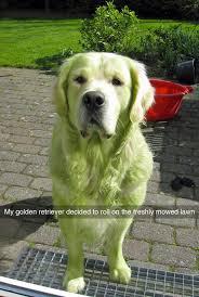 dogs bathroom grass. funny, funny photos, dog rolls around in mowed lawn dogs bathroom grass