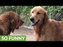 selfish doggy refuses to let buddy join in on mud bath