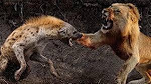 Foto hd elang vs harimau : 200 Gambar Elang Vs Singa Hd Infobaru