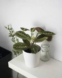 1 vaso maranta variegada tricolor rosa branca verde decoraçã. Como Cuidar La Maranta Tricolor Rosistirem