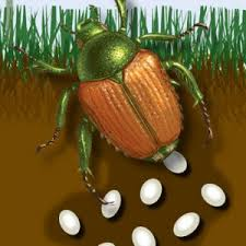 japanese beetles life cycle how when to treat japanese beetles grubs blains farm fleet blog