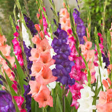 gladiolus flower bulbs bulb flower types g54