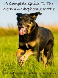 german shepherd rottweiler mix puppies. Contemporary Rottweiler German Shepherd Rottweiler Mix Colors Can Range Through Either The GSD Or  Rottie Spectrums Intended Puppies H