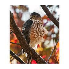 Sharp-Shinned Hawk in Autumn Photograph by Lara Ellis