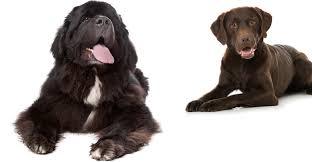 Newfie Puppy Growth Chart Newfoundland Lab Mix