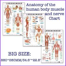 Back Nerve Chart Anatomy Of The Human Body Muscle And Nerve Chart A Set Front Side Back English And Chinese Female Male