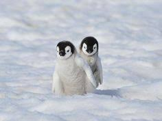 real baby penguins pictures. Plain Pictures Wait Brother If You Go I Go Too Penguin Cuties How Adorable In Real Baby Penguins Pictures T