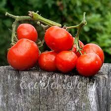 Сажаем <b>томаты семенами</b> в открытый грунт