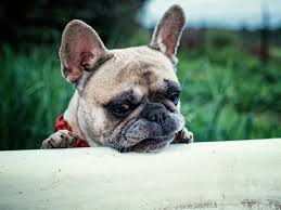 French Bulldog Color Chart Understanding French Bulldogs Colors French Bulldog Facts