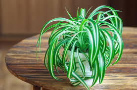 best office plants no sunlight. plants that grow without sunlight best office no