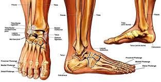 Ankle Bone Chart Sprained Ankle Anatomy Anatomy System Human Body Anatomy