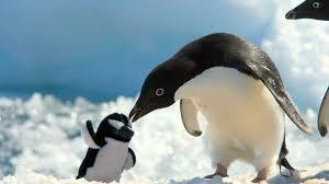 penguin love wallpaper.  Love Penguin Baby Love Wallpaper With