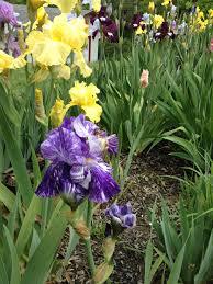 iris of 13 iris garden beautiful flowers pretty flowers
