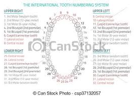 Dental Numbering Chart Teeth Infographic