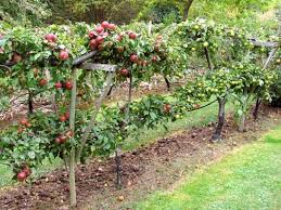 A Crinkle Crankle  Serpentine Wall With Cordon  Espalier Fruit Growing Cordon Fruit Trees