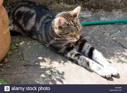 Brown male tabby cat sleeping on a hosepipe partially in the shade Stock Photo - Alamy