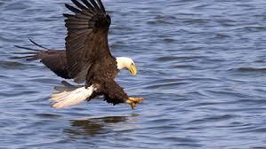 Small Picture eagle Kids Britannica Kids Homework Help