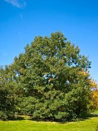 Oak Tree Size Chart Quercus Velutina Wikipedia