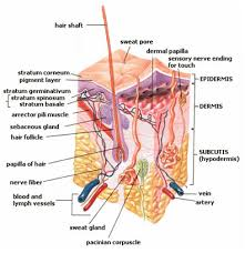 Human Organs And Organ Systems Advanced Ck 12 Foundation