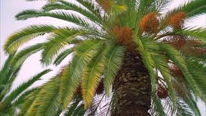 Date Palm In Montenegro Fruit On The Palm Tree Stock Footage Palm Tree Orange Fruit