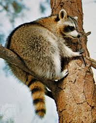 Raccoon Classification Chart Procyonid Mammal Britannica