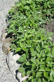common wild strawberry fragaria virginiana at canadale nurseries