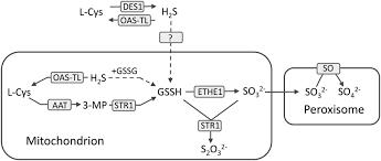 The Mitochondrial Sulfur Dioxygenase Ethylmalonic