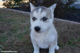 white and grey husky puppy. Modren Puppy Grey And White Husky Puppy For Sale On White And Husky Puppy A