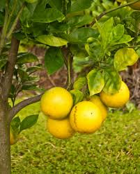 Caring For Your Fruit And Nut Trees  UniverseFruit And Nut Trees