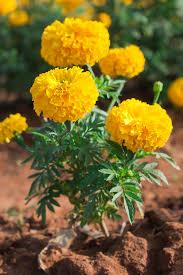 tagetes  marigolds