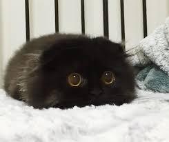cute black cats with yellow eyes. Exellent Cute Bigcuteeyescatblackscottishfoldgimo Throughout Cute Black Cats With Yellow Eyes Bored Panda