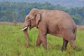 Photograph of asian elephant