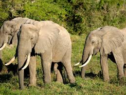 African Forest Elephant Species Wwf