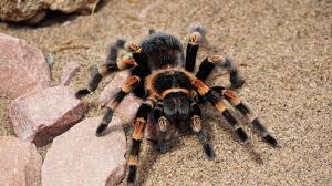 Free Spider Identification Chart Free Tarantula High Quality Wallpaper Id Brazilian
