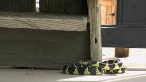 king snake hers onto outdoor wooden shoe rack 1080p