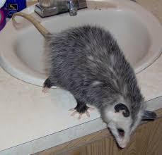 Care And Rehabilitation Of The Virginia Opossum