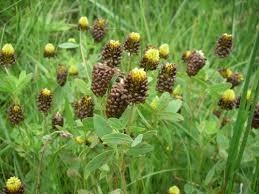 Brown Moor Clover (Trifolium spadiceum) · iNaturalist.org
