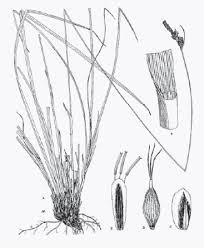 Carex macrolepis