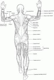 Human Anatomy Muscle Coloring Pages Human Body Muscle Coloring