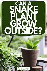 can a snake plant grow outside